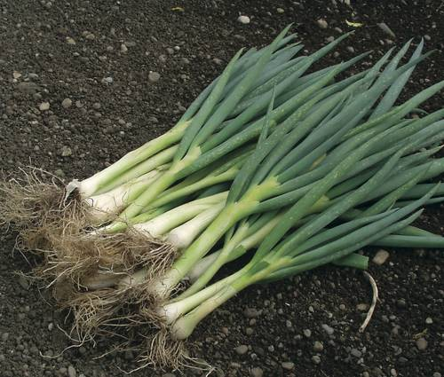 Produktbild Saatgut: Frühlingszwiebeln 'Ischikrona'