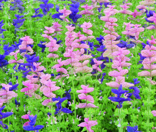 Produktbild Saatgut: Salvia viridis