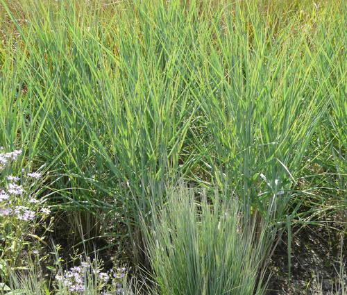 Produktbild Panicum amarum 'Dewey Blue'