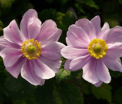 Produktbild Anemone tomentosa 'Serenade'