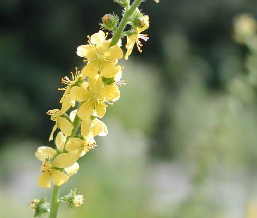 Produktbild Agrimonia eupatoria