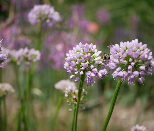 Produktbild Allium Hybride 'Summer Beauty'