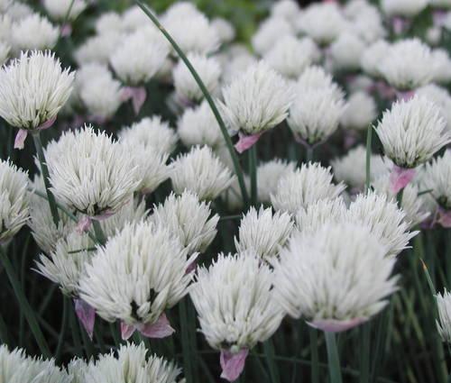Produktbild Allium schoenoprasum 'Elbe'