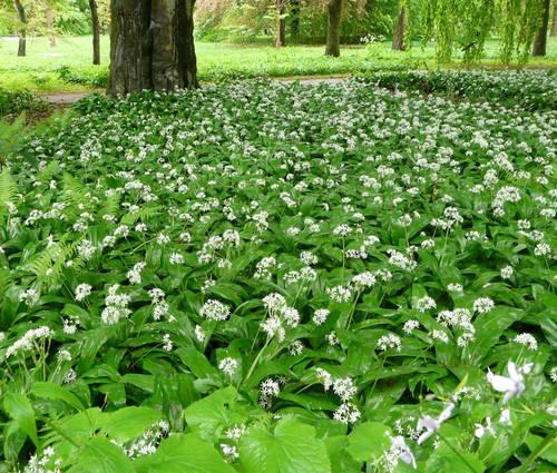 Produktbild Allium ursinum