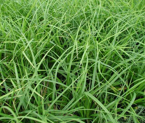 Produktbild Carex morrowii