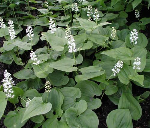 Produktbild Maianthemum bifolium