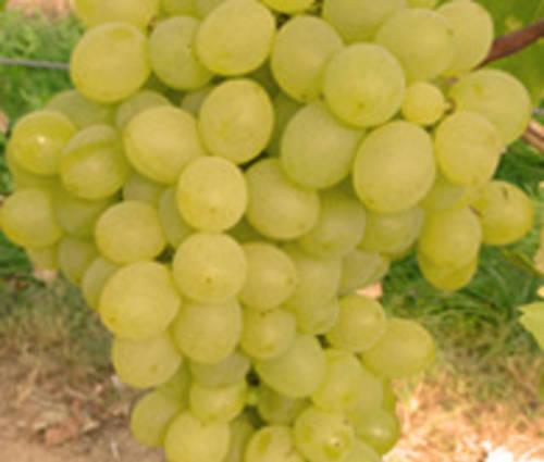 Produktbild Vitis vinifera 'Sophie' ®