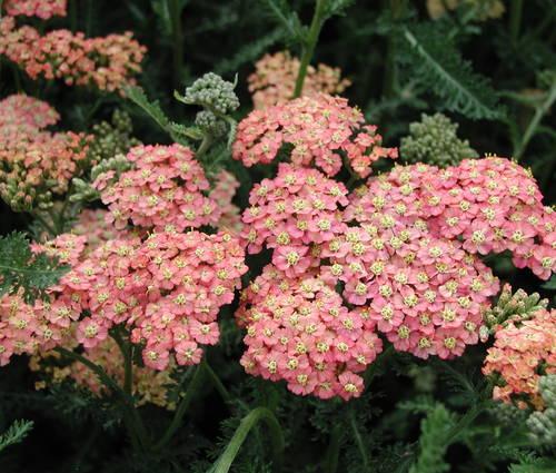 Produktbild Achillea Millefolium-Hybride 'Lachsschönheit'
