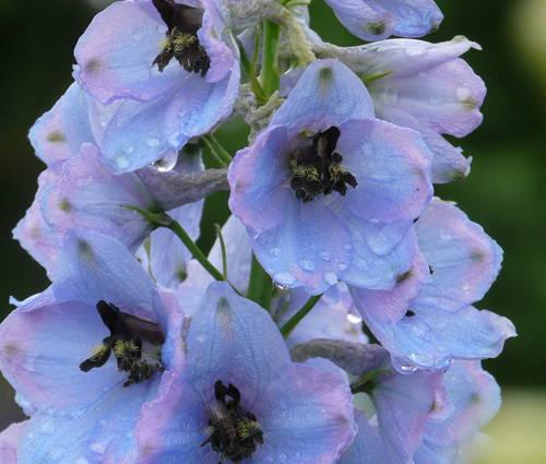 Produktbild Delphinium Elatum-Hybride 'Morgentau'