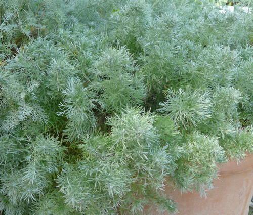 Produktbild Artemisia schmidtiana 'Nana'