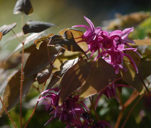 Produktbild Epimedium grandiflorum 'Rose Queen'