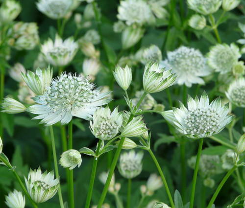 Produktbild Astrantia major 'Shaggy'
