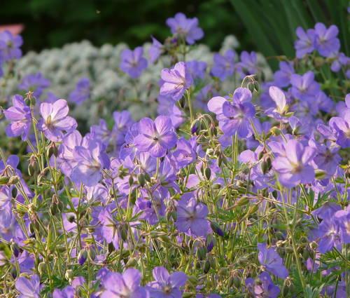 Produktbild Geranium Pratense-Hybride 'Johnson's Blue'
