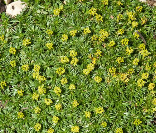 Produktbild Azorella trifurcata 'Nana'