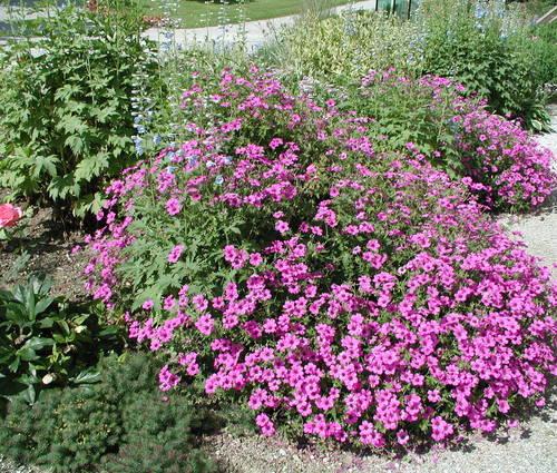 Produktbild Geranium Psilostemon-Hybride 'Patricia'