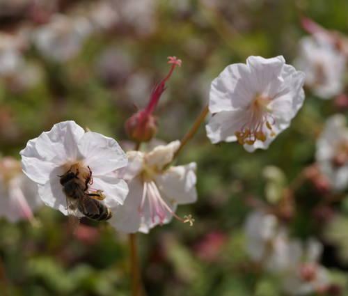 Produktbild Geranium x cantabrigiense 'Saint Ola'