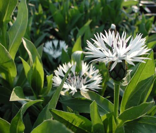 Produktbild Centaurea montana 'Alba'