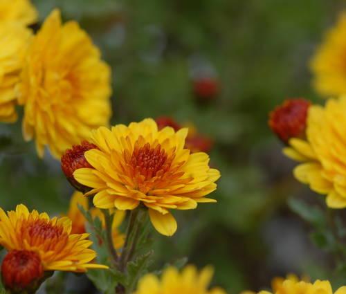Produktbild Chrysanthemum Indicum-Hybride 'Bienchen'