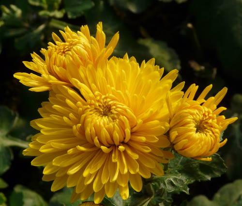 Produktbild Chrysanthemum Indicum-Hybride 'Golden Orfe'