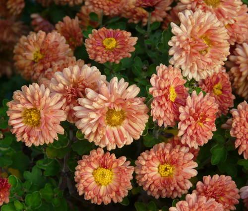 Produktbild Chrysanthemum Indicum-Hybride 'Herbstbrokat'