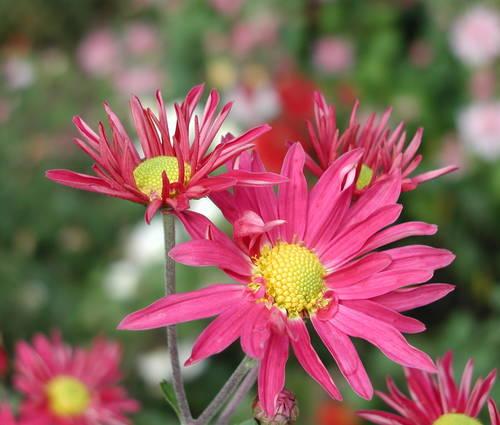 Produktbild Chrysanthemum Indicum-Hybride 'Oury'