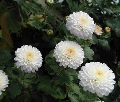 Produktbild Chrysanthemum Indicum-Hybride 'White Bouquet'