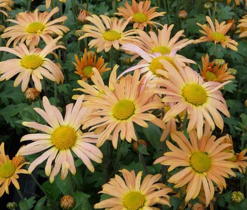 Produktbild Chrysanthemum Zawadskii-Hybride 'Mary Stoker'
