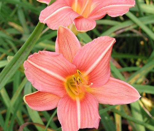 Produktbild Hemerocallis Hybride 'Bed of Roses'