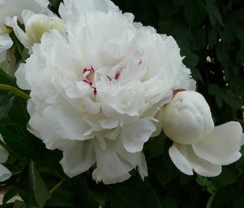 Produktbild Paeonia lactiflora 'Festiva Maxima'