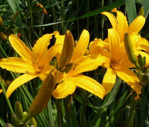Produktbild Hemerocallis Hybride 'Golden Scepter'