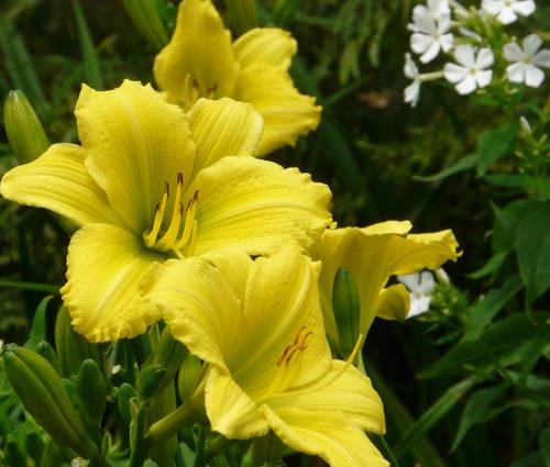 Produktbild Hemerocallis Hybride 'Green Flutter'