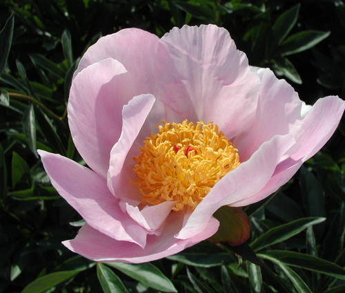 Produktbild Paeonia lactiflora 'Nymphe'