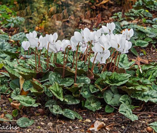 Produktbild Cyclamen hederifolium 'Album'