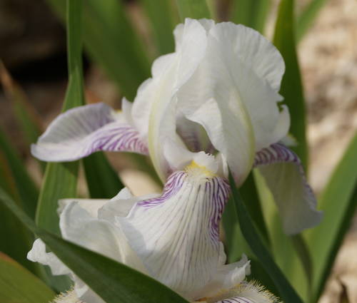 Produktbild Iris barbata-elatior 'Mrs. Horace Darwin'