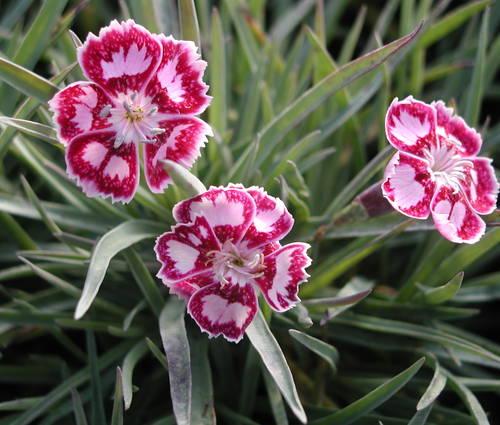 Produktbild Dianthus Hybride 'Jane Austen'