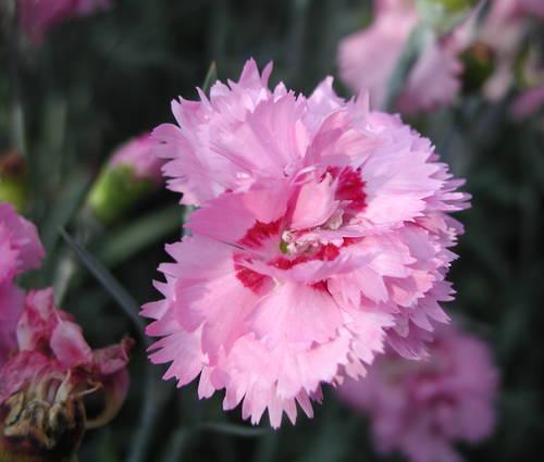 Produktbild Dianthus plumarius 'Maggie'