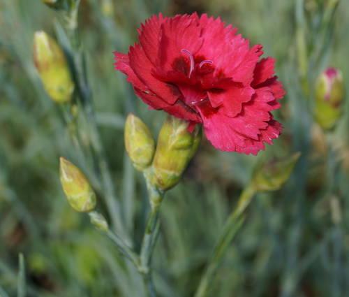 Produktbild Dianthus plumarius 'Munot'