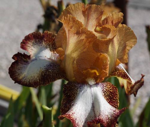 Produktbild Iris barbata-elatior 'Siva Siva'