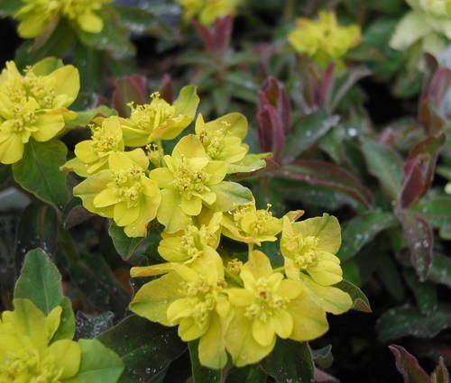 Produktbild Euphorbia polychroma 'Purpurea'