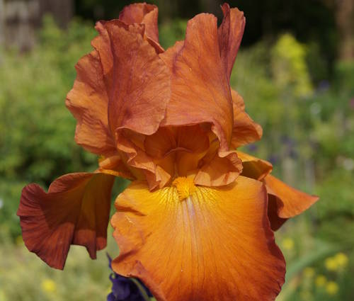 Produktbild Iris barbata-elatior 'Trails West'