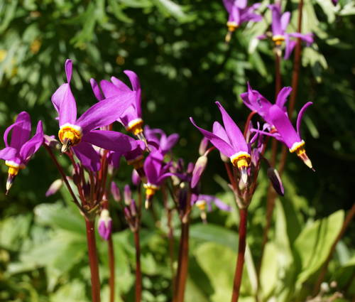 Produktbild Dodecatheon pulchellum 'Red Wings'