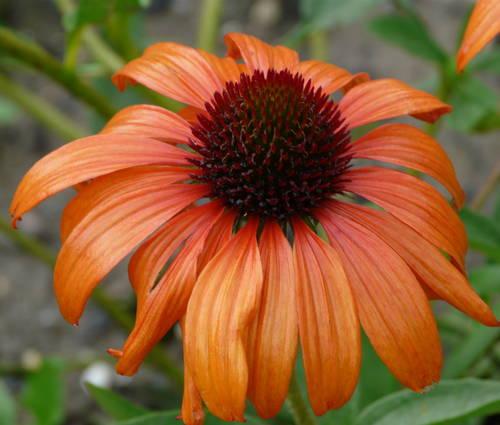 Produktbild Echinacea Hybride 'Tangerine Dream' ®