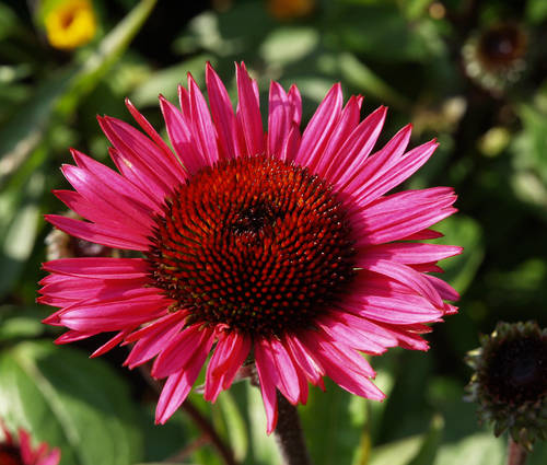 Produktbild Echinacea purpurea 'Fatal Attraction' ®