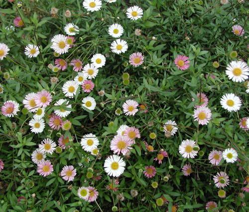 Produktbild Erigeron karvinskianus 'Blütenmeer'