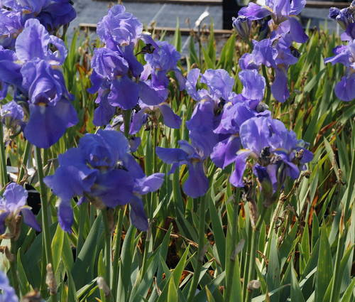 Produktbild Iris pallida var. dalmatica