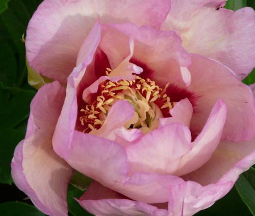 Produktbild Paeonia Hybride 'Pastel Splendor'