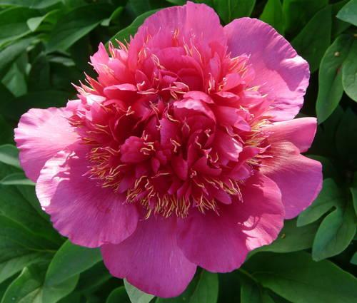 Produktbild Paeonia officinalis 'Anemoniflora Rosea'
