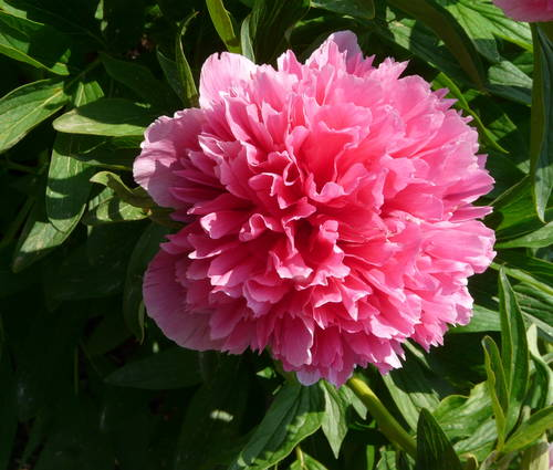 Produktbild Paeonia officinalis 'Rosea Plena'