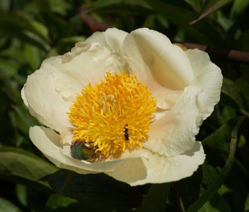 Produktbild Paeonia Hybride 'Claire de Lune'
