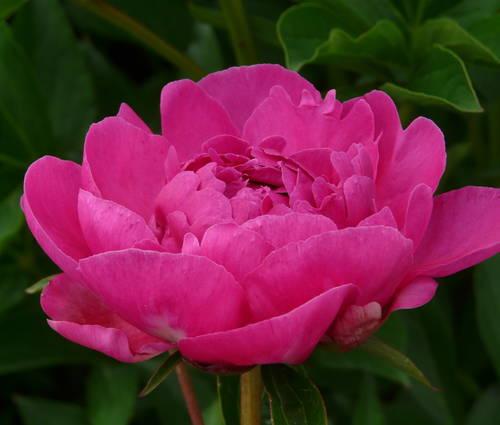 Produktbild Paeonia lactiflora 'Bunker Hill'